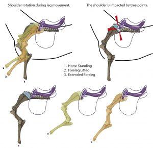 In der Grafik erkennt man die Schulterrotation in der Bewegung, wie die Schulter bereits im Stand durch nach vorn gerichtete Ortspitzen beeinträchtigt wird und wie das Schulterblatt in der Bewegung unter dem Sattel hindurch gleitet.