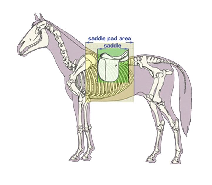 Sattel auf Anatomie Pferd