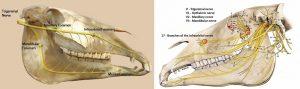 V Trigeminus Nerv  V1 Ophtalmischer Nerv (Augen)  V2 Maxillar Foramen V3 Mandibular Foramen